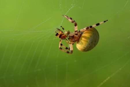 Closeup of a spider in Europe holding a prey trapped in spider web Stok Fotoğraf
