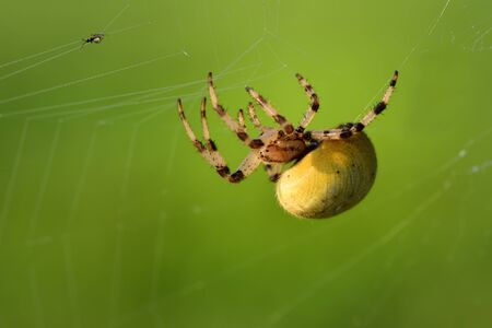 Closeup of a spider in a spider web aiming a prey in front of green background Stok Fotoğraf