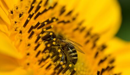 Close-up of a honeybee in the center of a sunflower with yellow pollen while seeking food Stok Fotoğraf