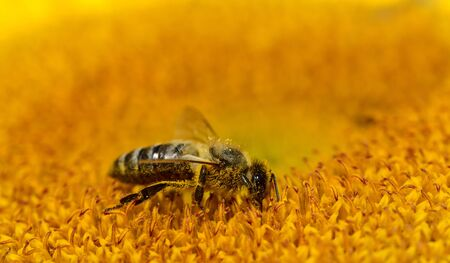 Close-up of a bee while collecting pollen in the center of a brilliant sunflower with text field above