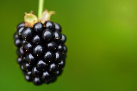 Closeup view of an isolated dark ripe blackberry in front of green background in summer Stock Photo
