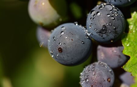 Closeup of ripe dark grapes with water drops in summer in Germany with text field