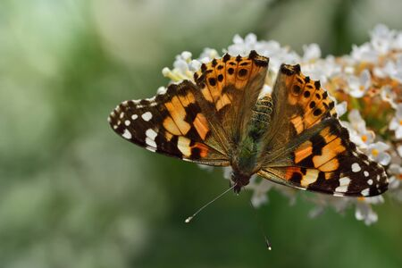 A colored colorful butterfly sits in Europe on the blossom of a white lilac in front of green background in summer in nature Reklamní fotografie