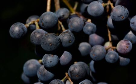 Closeup of fresh dark grapes in front of dark background in summer in Europe