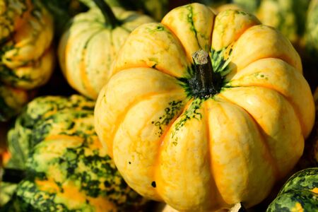 Closeup of a brilliant yellow microwave pumpkin on other squashes stands as background Stock Photo