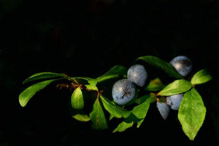 Close-up of a branch of ripe blue sloes in front of a dark background Banque d'images - 130813275