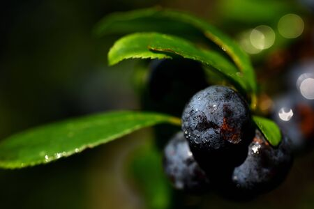 Closeup of blue ripe sloes on a tree in autumn with water drops Banque d'images - 130813278