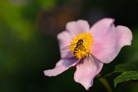 Closeup of an anemone in the summer with a hover fly searching for pollen at the food