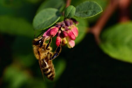 Closeup of a honey bee looking for food at a small red blossom with leaves and branches in front of dark background and text field Фото со стока - 130813281