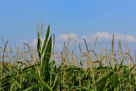 Background of ripe green corn growing on the field, with corn blossoms in front of blue sky with clouds in summer Stock Photo