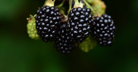 Closeup view of an isolated dark ripe blackberry in front of dark background in summer Stock Photo