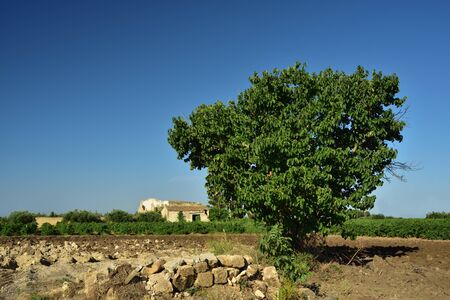 Typical rural scene in Sicily with a mulberry tree in front of rural landscape and dilapidated house in the background Фото со стока