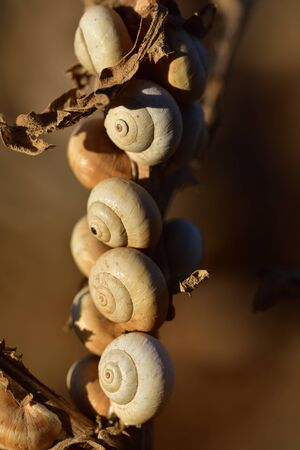 many small snail shells hang in the dry summer on a branch in the evening sun in Sicily