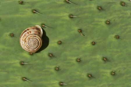 Background from a green leaf of a prickly pear cactus with spines and a snail sitting on it in summer in Sicily