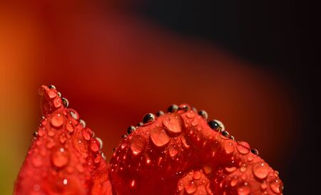 Closeup and detail shot of an orange trumpet flower with drops of water that reflect other trumpet flowers in Sicily in summer