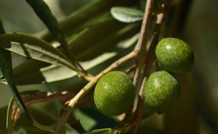Closeup of unripe green olives at the tree with leaves in Italy Banque d'images - 130813300