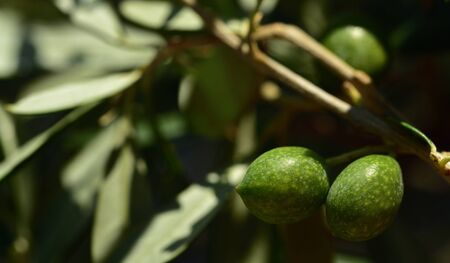 Closeup of unripe green olives at the tree with leaves in Italy Banco de Imagens