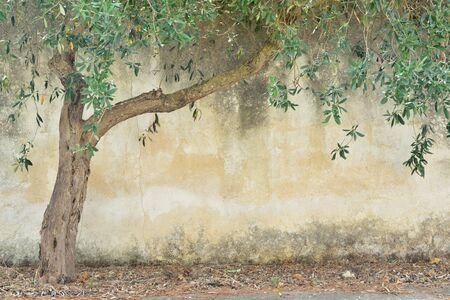 A dry olive tree with green leaves stands in front of an old rustic wall with text field in Sicily Stock Photo