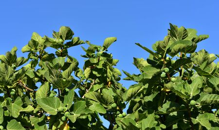 A treetop of a fig tree with leaves and green figs against blue sky in Sicily