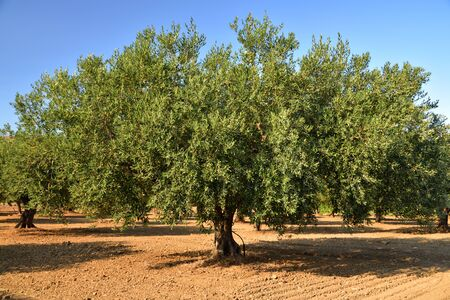 A large olive tree with green treetop stands on an olive field on ground in summer in Sicily