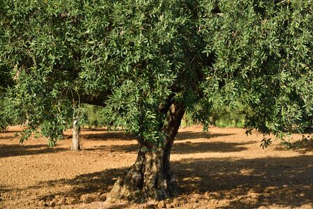 A large olive tree with green treetop stands on an olive field on bare ground in summer in Sicily Zdjęcie Seryjne