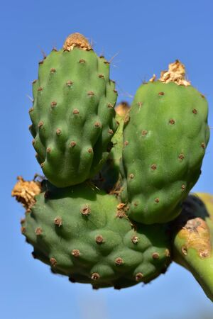 Closeup of a green prickly pear cactus with spines and immature prickly pears fruit with dry flowers against blue background with sky in Sicily in summer Banque d'images - 130813203