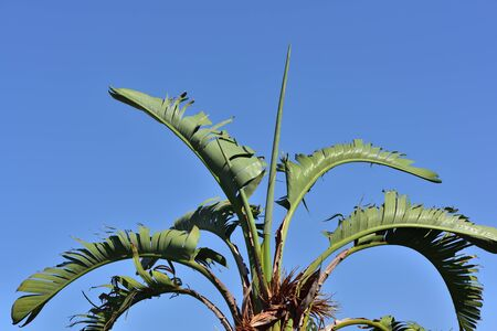 Close-up and background of green fresh leaves of a banana tree in front of blue sky in southern europe on vacation Banque d'images - 130813204