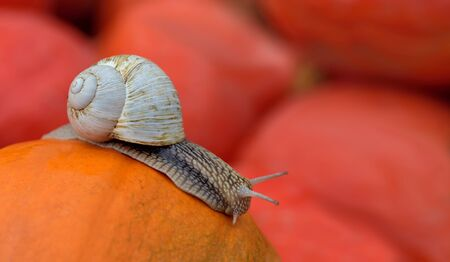 A big snail with a snail shell crawls slowly in autumn over an orange pumpkin in front of other pumpkins in the background