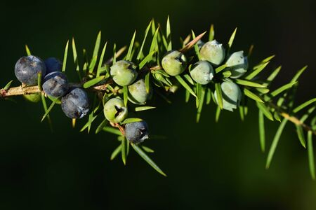 A branch of juniper with blue berries and prickly leaves in front of green background Archivio Fotografico