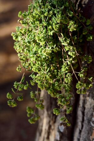A bunch of oregano hangs to dry on a tree outdoors in Sicily and smells