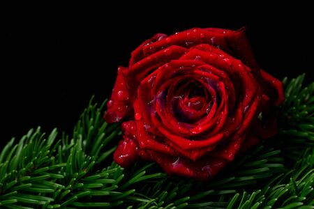 Closeup of a red rose with water drops lying on green fir branches in front of dark background with free space for text