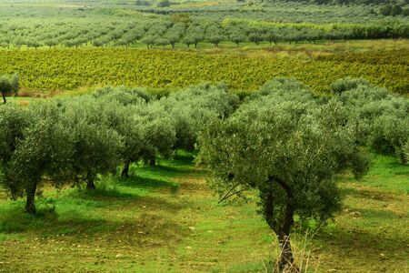Green landscape with olive plantations and cultivation of olives in Italy  Sicily in autumn Banco de Imagens