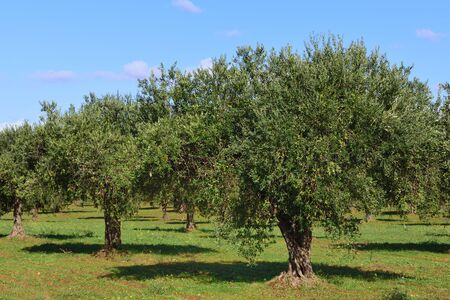 Plantation with olive trees in autumn carrying green olives in front of blue sky on Sicily in Italy Banco de Imagens