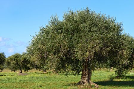 A cultivated field of olive trees in Sicily against a blue sky in autumn with fresh olives