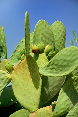 Green big prickly pear cactus with fruits and spikes against blue sky on Sicily in summer