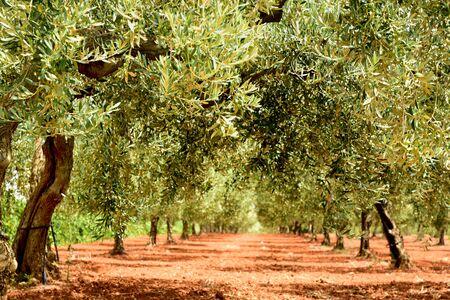 Sfondo con un percorso di ulivi su un campo coltivato in Sicilia in estate Archivio Fotografico