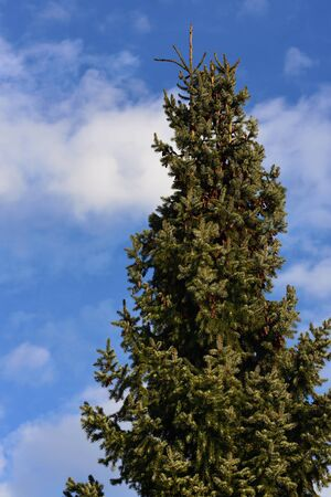 The top of a green spruce with spruce cones against a blue sky with clouds in nature Banco de Imagens