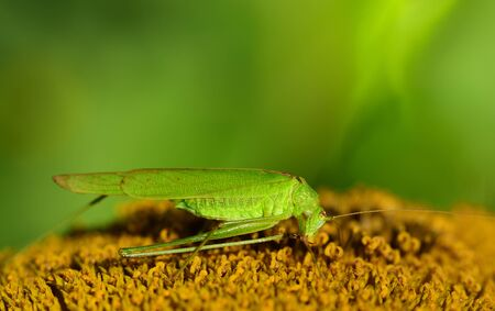 Close-up of a green grasshopper in summer, sitting on a fading sunflower and cleaning its hind legs, with space for text 写真素材