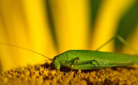 Closeup of a green grasshopper in the summer sitting and sunbathing and resting on a yellow sunflower, with space for text