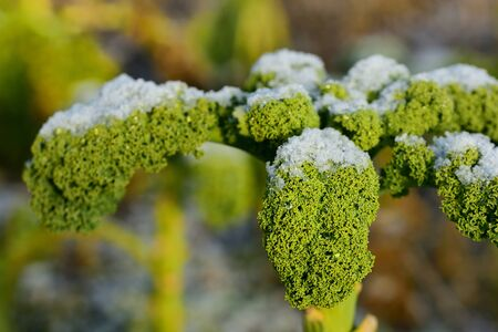 Wilting green kale is in winter in the field and partly covered by fresh snow, in agriculture and nature