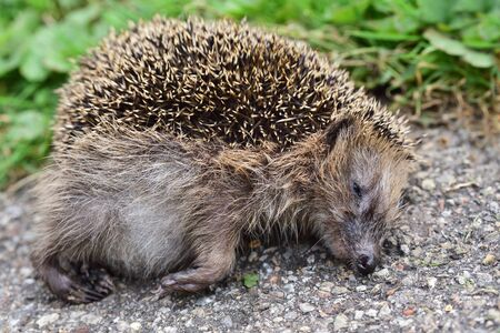 Close-up of a dead hedgehog lying on the roadside and presumably run over in Germany as a victim in road traffic