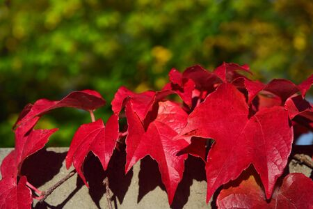 Red leaves of wild wine tendril against a wall against a green background in nature in autumn in Bavaria 版權商用圖片
