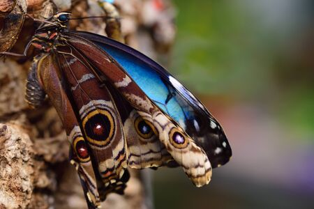 A newly hatched blue morpho butterfly hangs on a tree bark with blue and brown wings to dry its wings