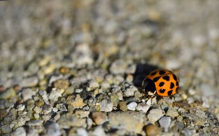 A small red Asian ladybug is crawling from the side on a stone surface with plenty of space for text