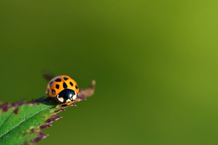 A small red Asian ladybug sits on an old blackberry leaf, against a green background with plenty of space for text Reklamní fotografie