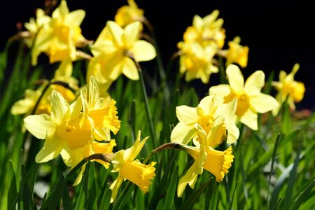 Yellow blooming daffodils glow against a dark background in spring