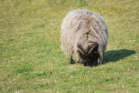 A small sheep with many long shaggy hair is in a pasture and eats grass in spring