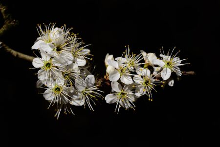 A branch with small white flowers protrudes laterally into the picture against a dark background Banco de Imagens
