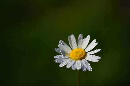 A small white daisy in spring with water drops on the edge of the picture, with plenty of space for text on the green background