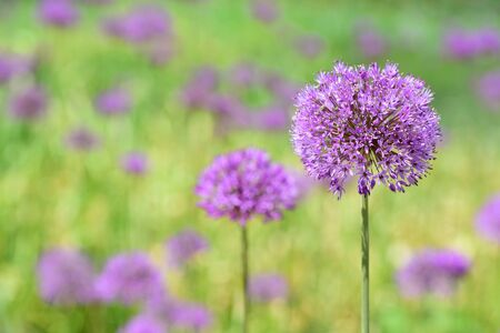 Background with blooming purple garlic on a green field in spring with sunshine in Bavaria Фото со стока